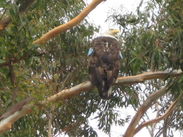 4-Year Old Male Bald Eagle