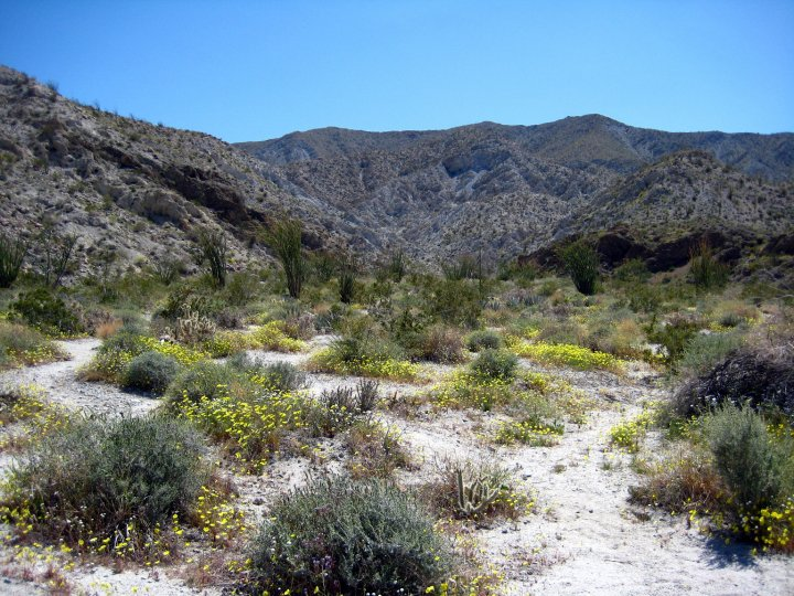 wildflowers anza borrego desert state park ventura 39 s